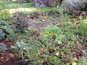 Close up of poppy raised border before weeding and removal of excessive forget-me-nots